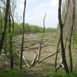 Срубленный лес. Недалеко от парома. Рубили не мы. :)