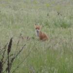 Хитрые лисы обстреливаются из фоторужья.