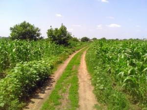 Дорога в кукурузном поле в Ташлыке