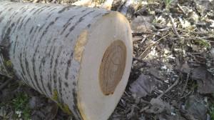 Свежесрубленное дерево в Меренештском лесу