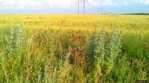 Маки и ржаное поле